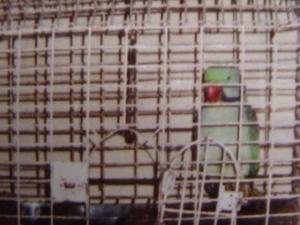 आमच्या घरचा पोपट.. दार नेहेमीच उघडं असायचं त्याच्या पिंजऱ्याचं..